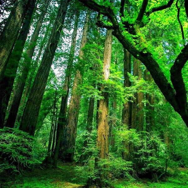 Longevity Tree